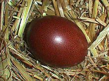 Œufs de la race Marans (la poule aux œufs d'or)